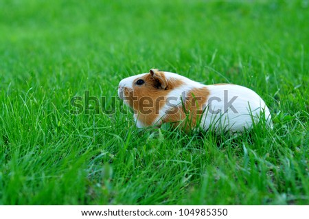 Guinea pig in the green grass - stock photo