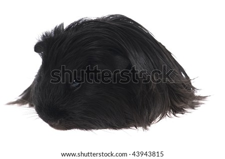 guinea pig isolated on the white background - stock photo