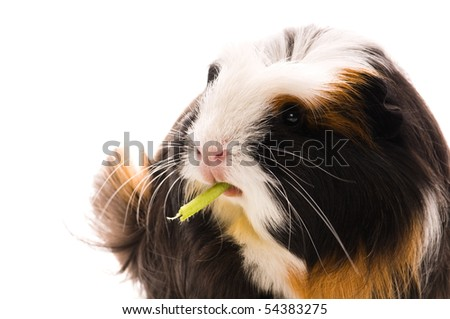 guinea pig isolated on the white background. coronet