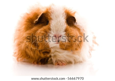 guinea pig isolated on the white background. texel - stock photo
