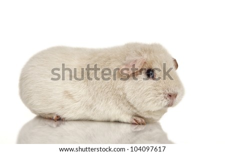 guinea pig on a white background