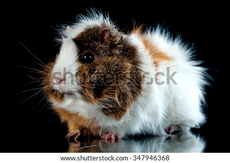 Guinea pig on black background. - stock photo