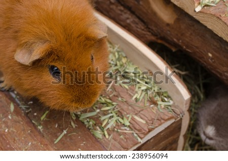 guinea pig on roof (US-Teddy) - stock photo