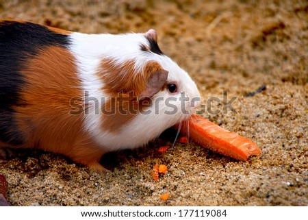 Guinea pig or hamster - stock photo
