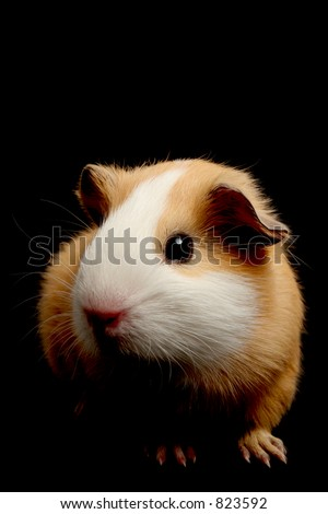 guinea pig over black - closeup with focus on eye