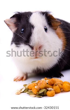Guinea pig, pet animal isolated on white background