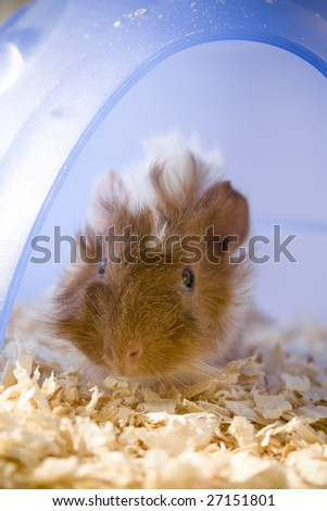Guinea pig shyly emerging from house