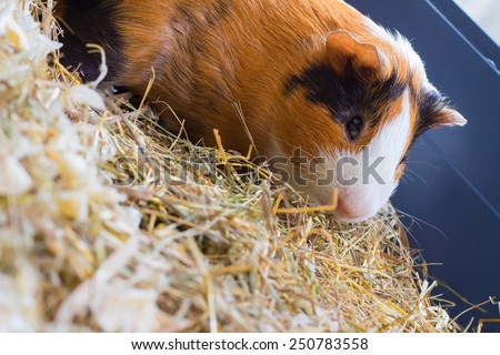 Guinea pig sitting in the dry grass - stock photo