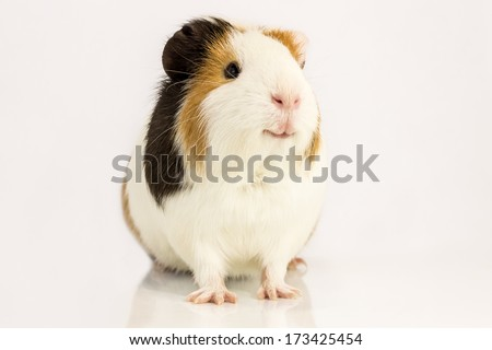 Guinea pig smiles , sitting on a white background. - stock photo