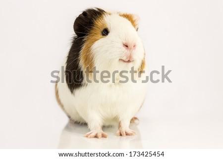 Guinea pig smiles , sitting on a white background. - stock photo