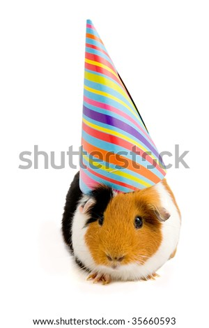 guinea pig wearing party hat isolated on white