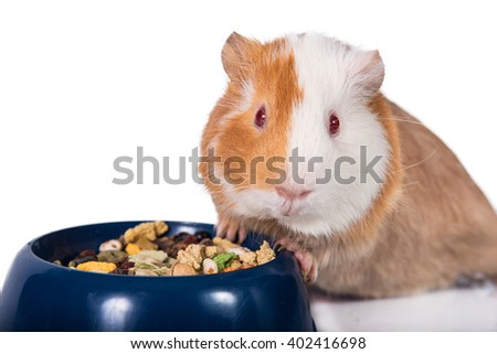 Guinea pig with a bowl of food isolated on white   - stock photo