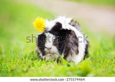 Guinea pig with a dandelion on its head - stock photo