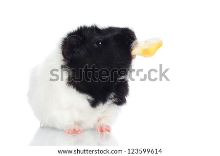 guinea pig with a piece of apple - stock photo