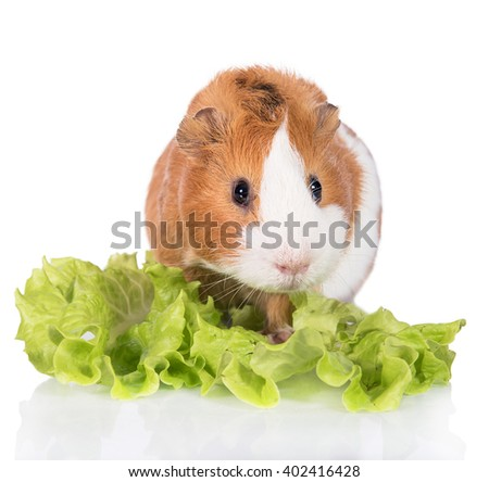 Guinea pig with a salad isolated on white background  - stock photo