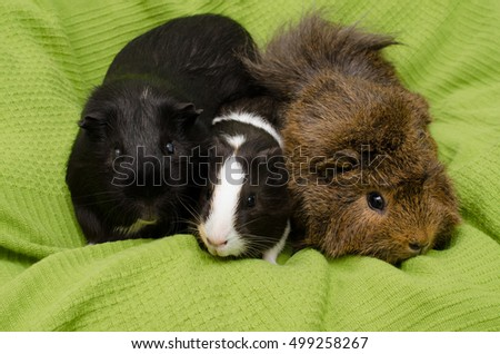 guinea team (middle: baby short haired)