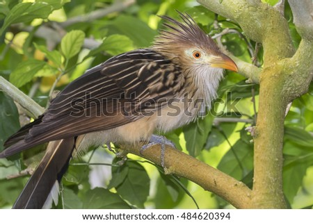 Guira cuckoo (Guira guira), captive (native to South America), Moody Gardens, Galveston, Texas, USA