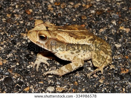 Gulf Coast Toad - stock photo