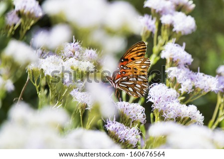 Gulf Fritillary (Agraulis vanillae) butterfly alights on a wildflower in the Florida scrub habitat. - stock photo