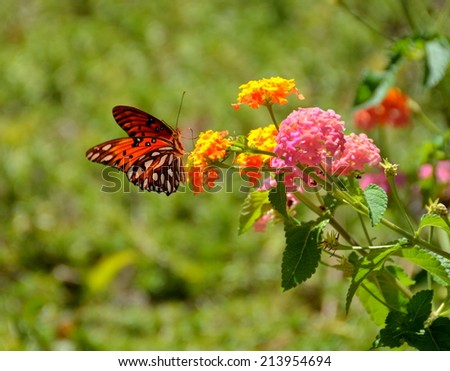 Gulf Fritillary Butterfly fluttering wings on top of Lantana Flowers - stock photo