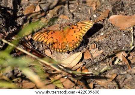 Gulf Fritillary butterfly in the wild - stock photo