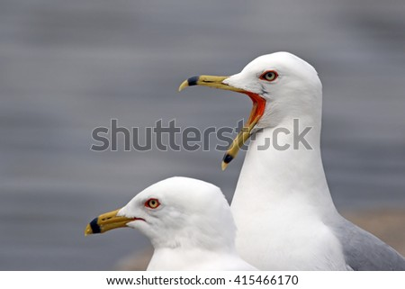 Gull and Open Mouth