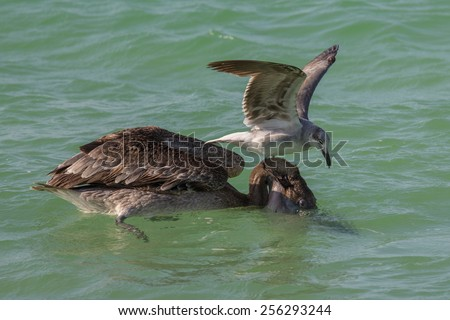 Gull attempting to steal fish from a brown pelican with head in water - stock photo