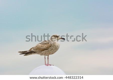 gull bird on sky background - stock photo
