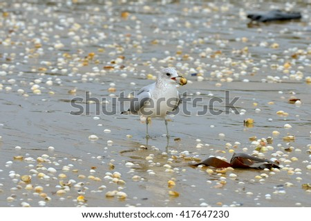Gull eating a clam - stock photo