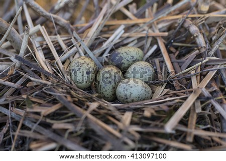 gull eggs are in the nest, the nest in the reeds. - stock photo