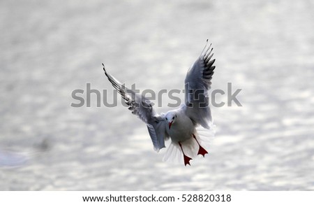Gull flying on the River Danube in Zemun,Belgrade Serbia.