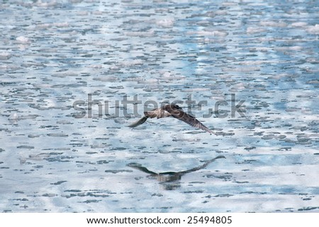 Gull flying, reflected in icy water