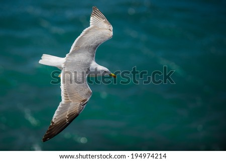 Gull in the air above the water with spread wings (Larus ridibundus) - stock photo