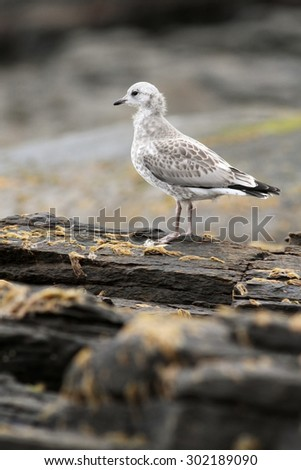 gull on the rock