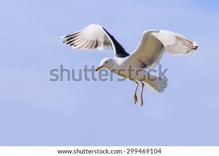 Gull with wings raised. An elegant lesser black-backed gull hangs in the air with wings raised. - stock photo