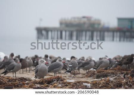 Gulls at Capitola - stock photo