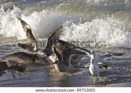 Gulls feed Afterbirth from newly born Elephant Seal Pup - stock photo