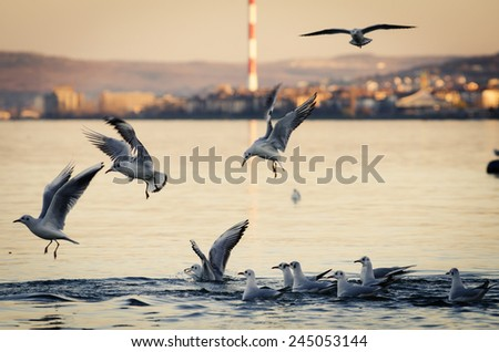 Gulls flying and fighting for food ar sunset. - stock photo