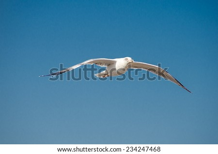 Gulls of Essaouira - stock photo