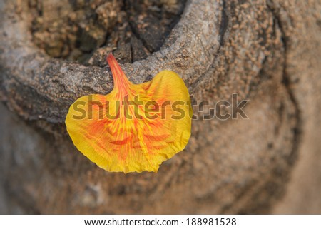 Gulmohar flowers on wooden - stock photo