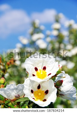 Gum rockrose - Cistus ladanifer - stock photo