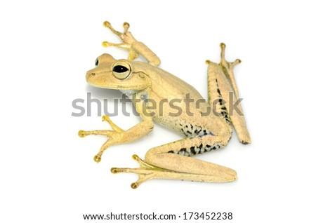 Gunther's banded tree frog (Hypsiboas fasciatus) - stock photo