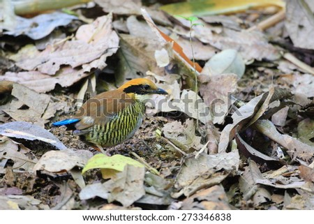 Gurney's pitta (Hydrornis gurneyi) in South Thailand