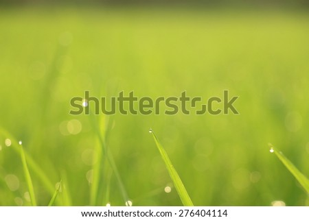 Guttation - Water droplet secretion at the tip of leaf of rice, Blur background
