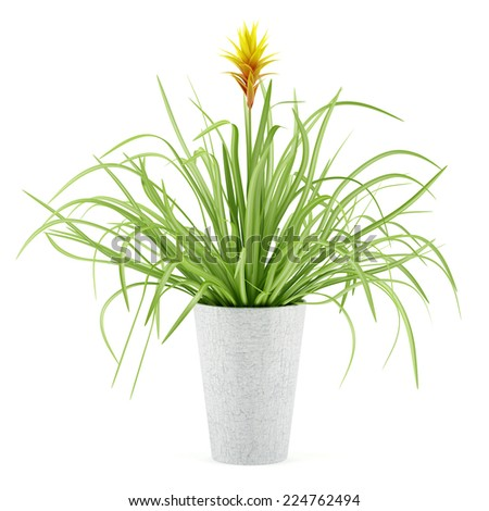 guzmania plant in pot isolated on white background - stock photo