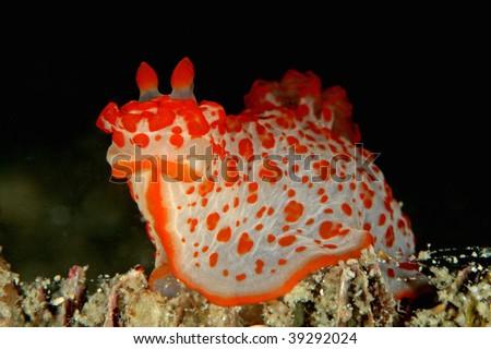 Gymnodoris Sp - stock photo