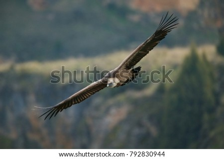 Gyps fulvus, Griffon vulture in flight, Hoces del Duraton, Spain