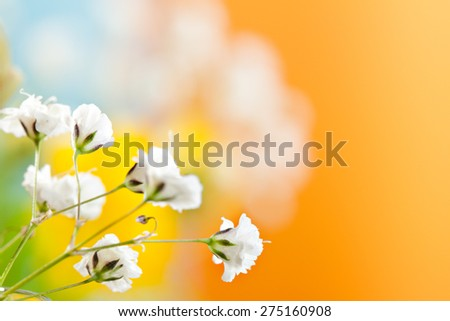 Gypsophila Flowers on Beatiful Blurry Background - stock photo