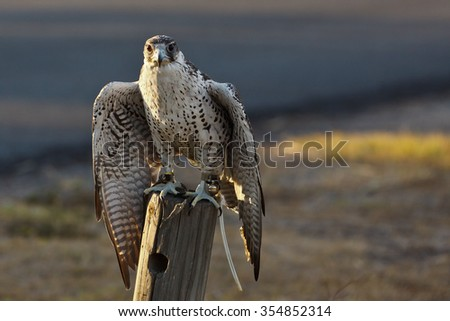 Gyrfalcon preparing to hunt, radio transmitter attached to left leg - stock photo