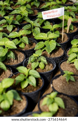 Habanero mustard small hot pepper saplings cultivated in a greenhouse with a label - erase the letters and write your own!